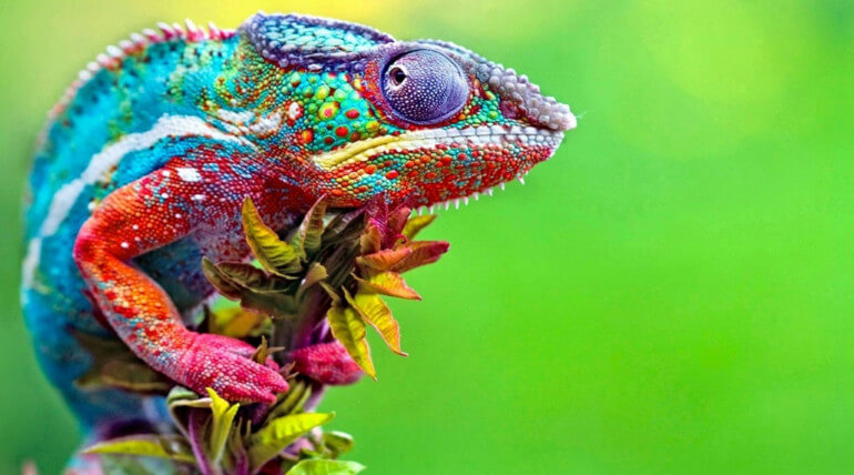 why does a chameleon change colors