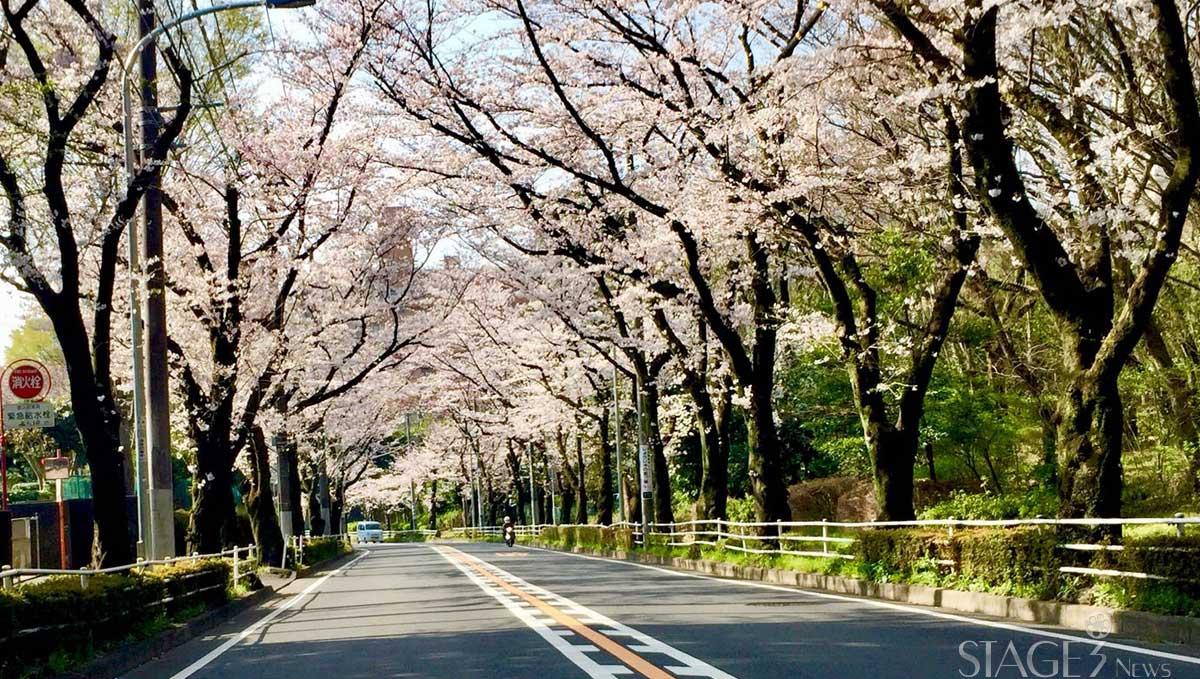 2018 japan sakura flowers street view